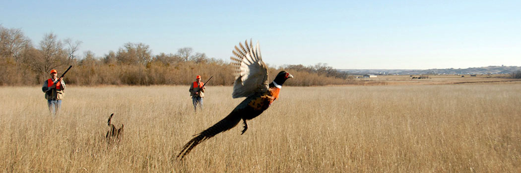 Find outstanding pheasant hunting opportunities in the Fort Pierre area